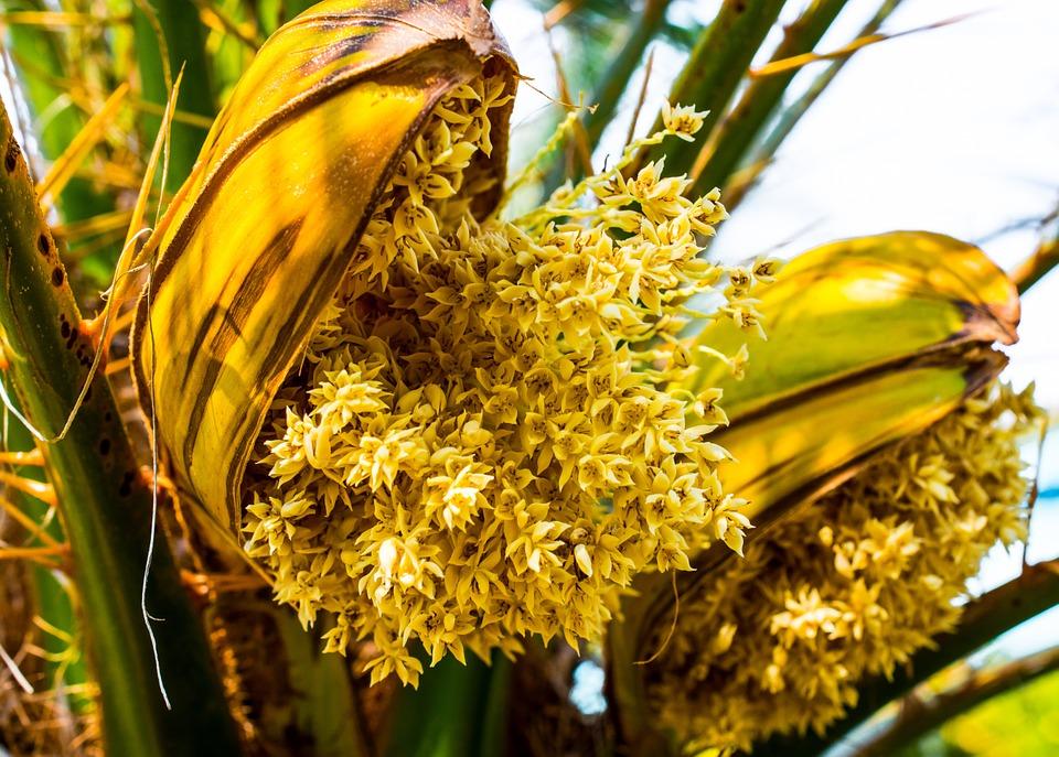 Les vertus thérapeutiques des pollens de palmier